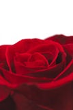 Red rose. Single red rose on a white background Royalty Free Stock Photography