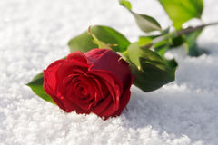 Free Red Rose Stock Photo - 6091510