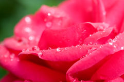 Free Red Rose Stock Images - 6113064