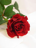 Red rose. With wet leaves on white veil royalty free stock photo
