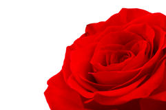 Red rose. At the white background Royalty Free Stock Photo