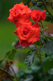 Red rose. In summer garden Stock Photography