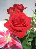 Red Rose. A close up of a colorful red rose royalty free stock photography
