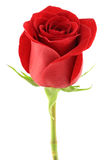 Red rose. Isolated on white Stock Image