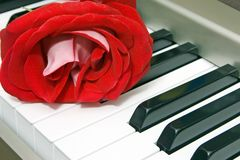Red rose. On the keyboard of the piano Stock Image