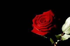 Red Rose. Blood red rose sidelit with a black background royalty free stock photo