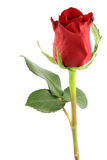 Red rose. Isolated on white stock photos
