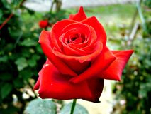 Red rose. Valentine day royalty free stock photos