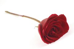 Red rose. Rose on white, shallow dof Royalty Free Stock Photo