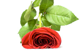 Red rose Royalty Free Stock Photography