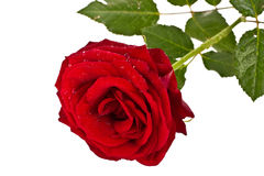 Red rose. Fresh red rose with drops of water on a white background Stock Images