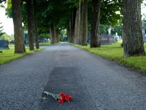 Red rose. On the ground Stock Image