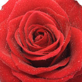 Red rose. Closeup of a blossom of a wet red rose Royalty Free Stock Photos