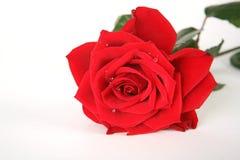 Free Red Rose Royalty Free Stock Photos - 8409658