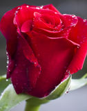 Red Rose. Close up of a red red rose. Shallow d o f Royalty Free Stock Images