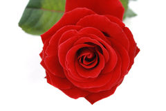 Red rose. Isolated on white background Stock Photo