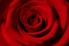 Free Red Rose Stock Image - 984951