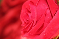 Red Rose. An abstract image of a red rose with red silky sheets in the background stock photos