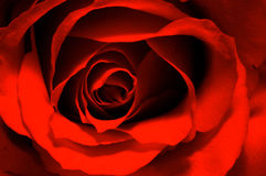 Red rose abstraction. Abstract background of close up on red rose bloom stock images