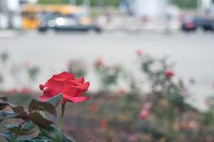 Red rose against a city street background royalty free stock images