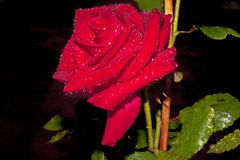 Red rose against a dark background, with water drops on its petals and leaves deposited by an evening rainstorm. A brilliant red Doftwolke rose contrasted Stock Photo