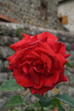 Red rose against stone walls. In a small town Stock Photo