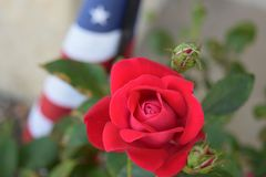 American Rose and Flag royalty free stock photo