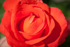 Red rose, Andalusia, Spain Stock Images