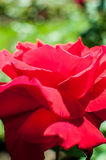 Red rose as a natural and holidays background Stock Images