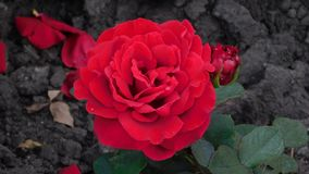Red rose in autumn royalty free stock images