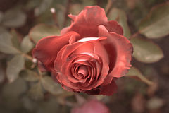 Red rose in autumn garden. Two rose flowers dying in fall, a lot of space for text. Selective focus. Vintage color. Two Stock Photo