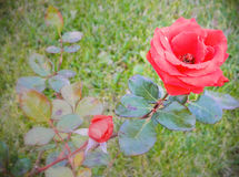 Red Rose in Autumn. I took this photo in neighbours' garden while I was going for a walk Stock Images