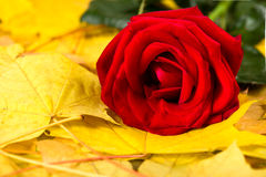 Red rose on autumn leaves background Stock Photography