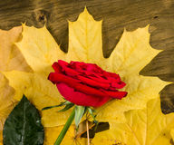 Red rose on autumn leaves background Royalty Free Stock Photos