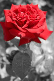 Red rose in B&W and color. Red rose with only the blossom in color, the rest black and white. Post processed in photoshop Stock Image