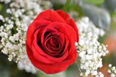 Red Rose with Baby's Breath. A Red rose surrounded by baby's breath Royalty Free Stock Image
