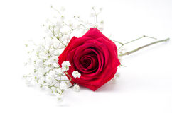 Red Rose and Baby's Breath Royalty Free Stock Image