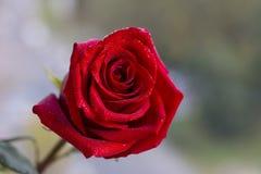 Red rose. back blurred background. Postcard stock images