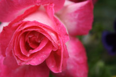 Red rose background Stock Images