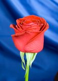 Red rose with background. Close up of Gorgeous red Rose with blue shiny silk background Royalty Free Stock Images