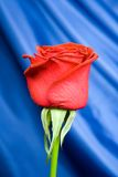Red rose with background 3. Close up of Gorgeous red Rose with blue shiny silk background Royalty Free Stock Photography
