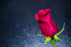 Red rose and background of bokeh Stock Photography