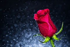 Red rose and background of bokeh Royalty Free Stock Photography