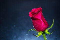 Red rose and background of bokeh Stock Photos