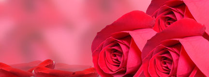 Red Rose background-facebook timeline Royalty Free Stock Photography