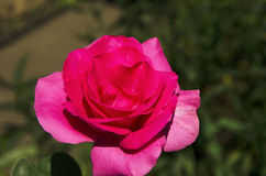 Red rose on a background of green leaves Stock Photo
