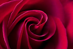 Red rose background - natural flower closeup Stock Photography