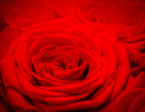 Red rose background. Romantic love greeting card Stock Images