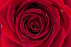 Red Rose Background. Red Rose With Water Drops Background Macro Photo Royalty Free Stock Photo