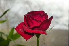 Beautiful red rose Royalty Free Stock Photo